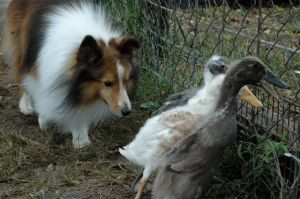 "Bode thinks he is ""all that"" at herding!"